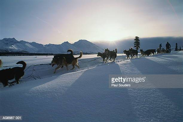 dog sled team in action, alaska, usa - iditarod stock pictures, royalty-free photos & images