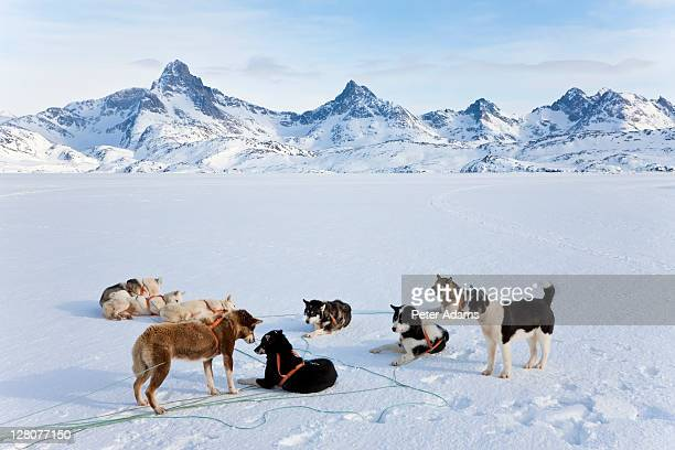 dog sledding, e. greenland - east stock pictures, royalty-free photos & images