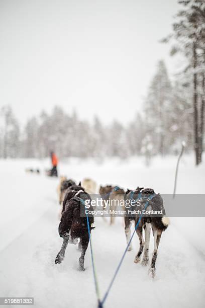 dog sledding, geilo, norway. - dog sledding stock photos and pictures