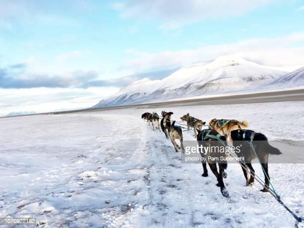 dog sledding huskies in svalbard - スヴァールバル諸島 ストックフォトと画像