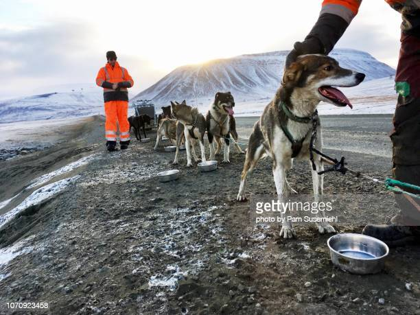 Dog Sledding Huskies in Svalbard