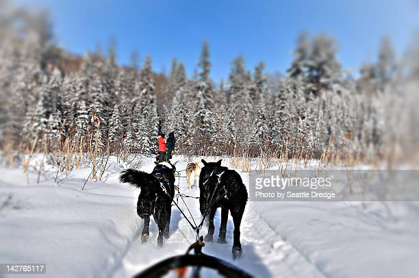 dog sledding in algonquin park - dog sledding stock photos and pictures