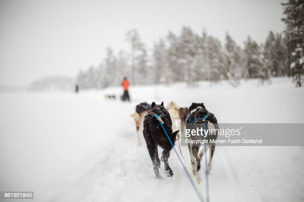 dog sledding in geilo, norway - working animal stock pictures, royalty-free photos & images