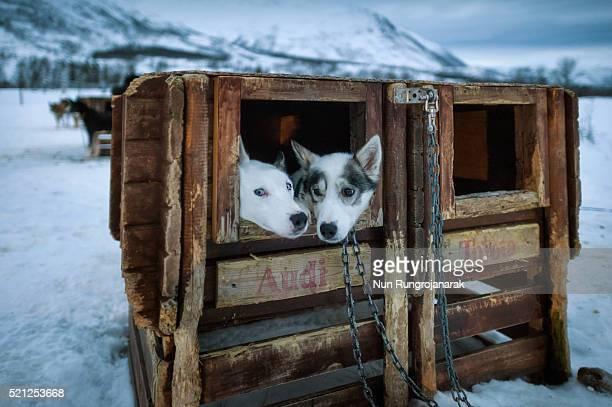 Dog Sledding in Norway