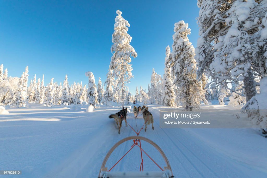 Dog sledding in the snow covered forest, Kuusamo, Northern Ostrobothnia region, Lapland, Finland : ストックフォト