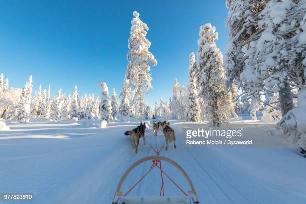 dog sledding in the snow covered forest, kuusamo, northern ostrobothnia region, lapland, finland - cão de puxar trenó imagens e fotografias de stock