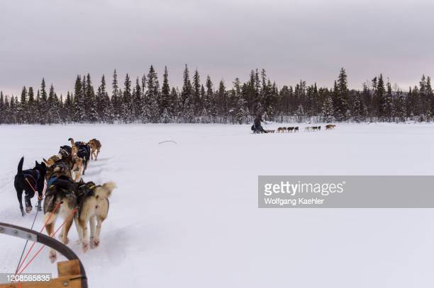 Dog sledding trip on the frozen Torne River near the Icehotel in Jukkasjarvi near Kiruna in Swedish Lapland; northern Sweden.