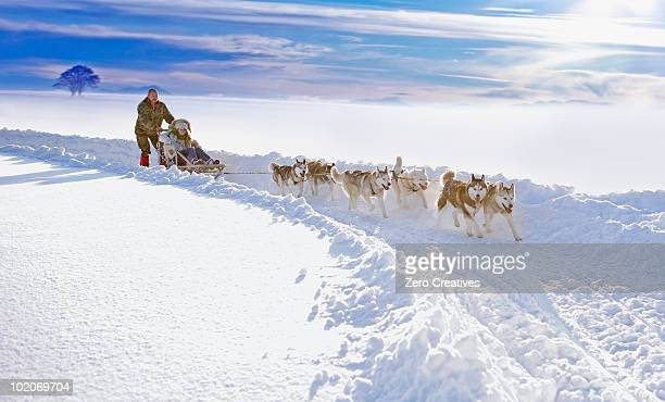 dog sledge - dog sledding stock photos and pictures