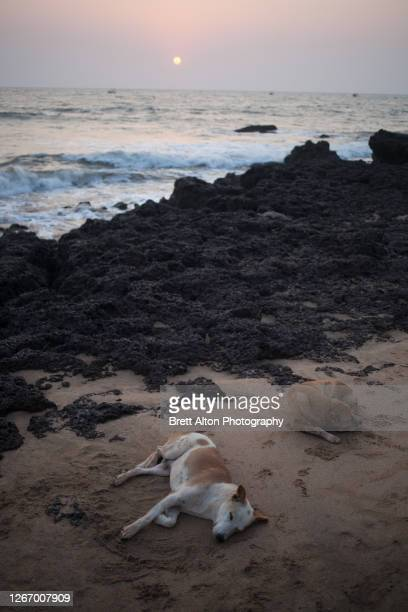 dog sleeping at sunset, travels in southwest india - india summer heat foto e immagini stock