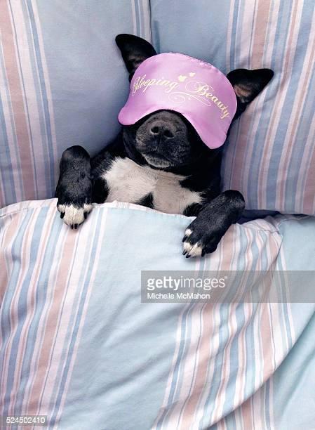 Dog sleeping beauty