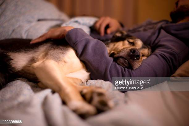 dog sleeping in its owner's bed - domestic animals stock pictures, royalty-free photos & images
