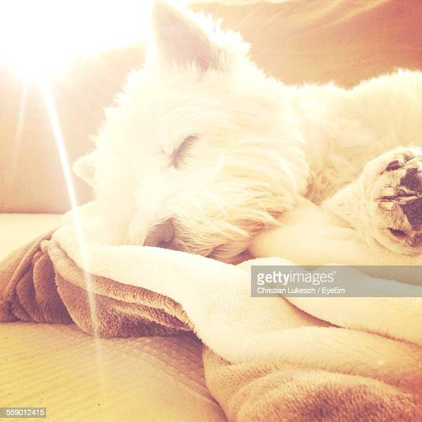 Dog Sleeping On Blanket