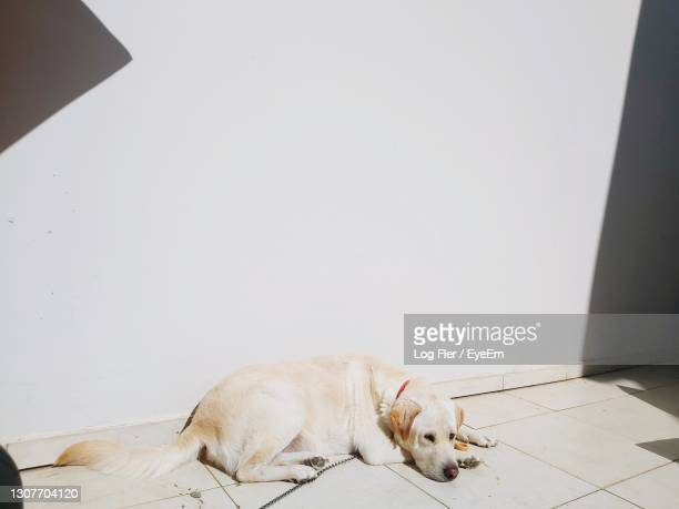 dog sleeping on floor against wall - netanya stock pictures, royalty-free photos & images