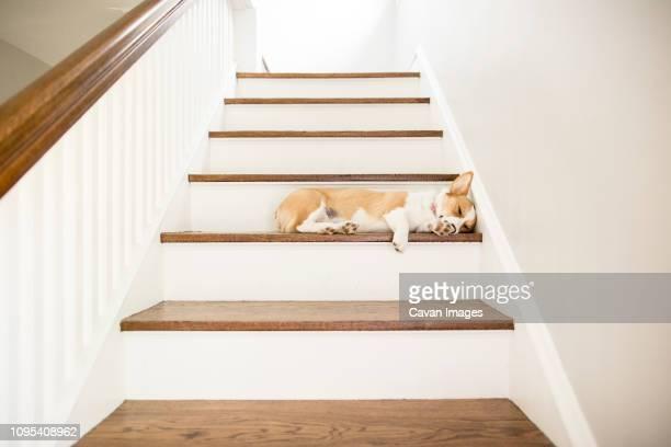 dog sleeping on steps at home - stufen stock-fotos und bilder