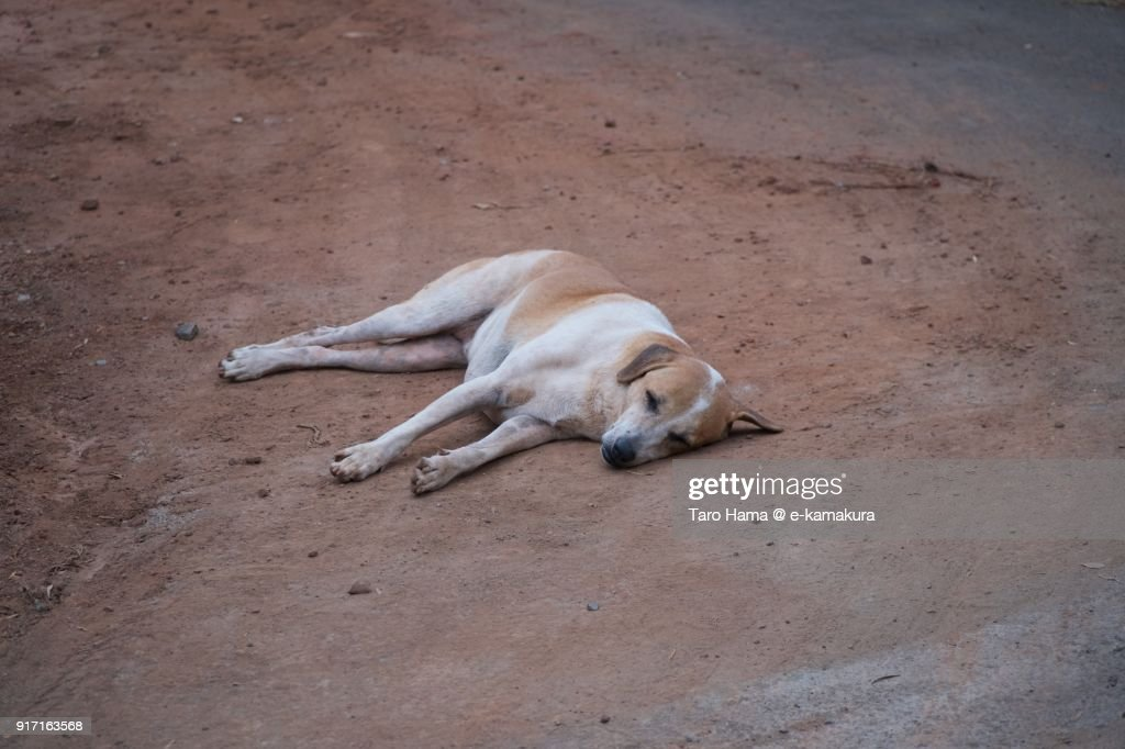A dog sleeping on the road in Dona Paula in Goa in India : ストックフォト