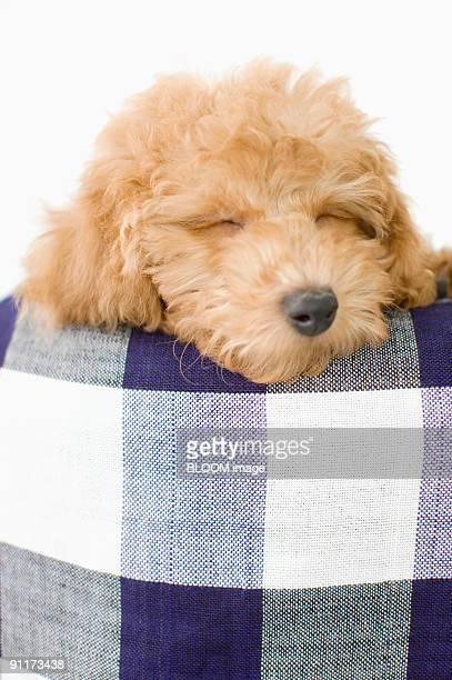 dog sleeping - caniche toy photos et images de collection