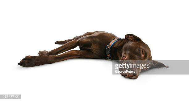 dog sleeping, smiling and dreaming - chocolate labrador stock pictures, royalty-free photos & images