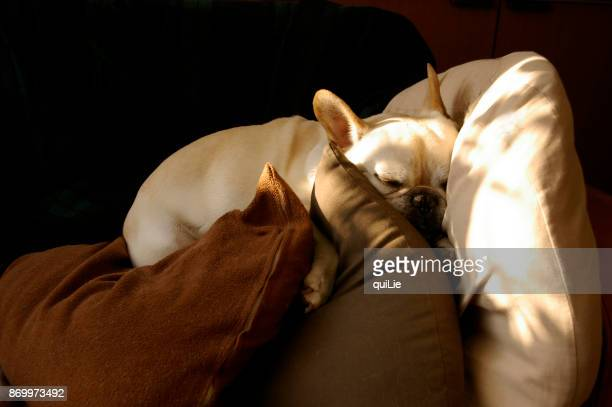 Dog sleeping with cushions