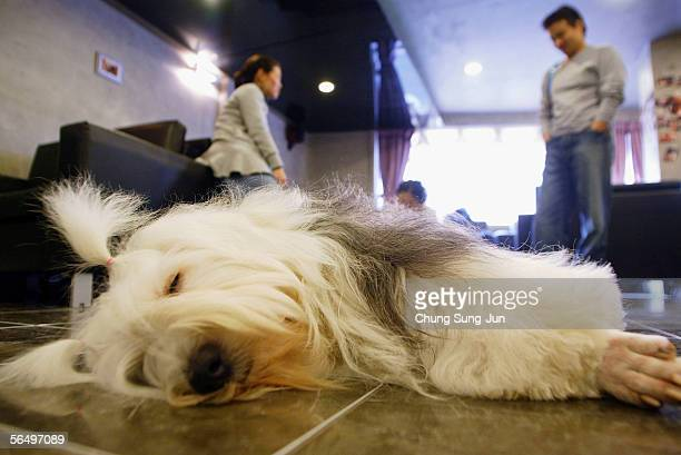 A dog sleeps at a dogfriendly cafe on December 29 2005 in Seoul South Korea The year of 2006 is the year of the dog according to the Chinese lunar...