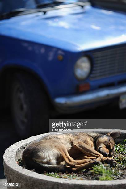 A dog sleeps in a flower bed on March 18 2014 in Simferopol Ukraine Voters on the autonomous Ukrainian peninsular of Crimea voted overwhelmingly...