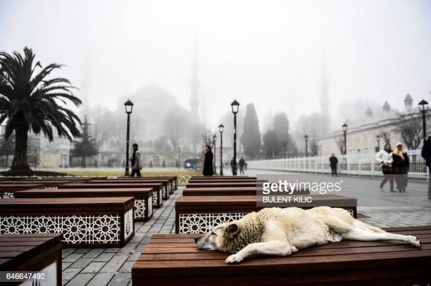A dog sleeps on a bench at the Sultanahmet square in front of Blue Mosque on a foggy day on March 1 in Istanbul Sea transport in Istanbul was...