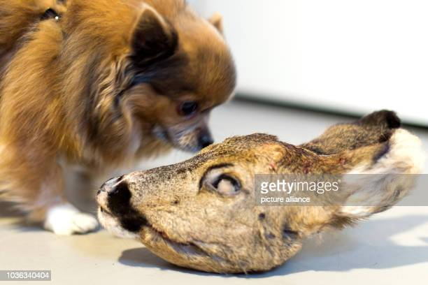 A dog smelling a deer head at Anne Kroenke's Barfshop in Berlin Germany 4 February 2016 Barf is short for 'Bones and raw foods' a method that is...
