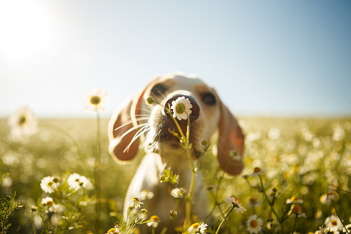 A dog smelling a flower 808022474