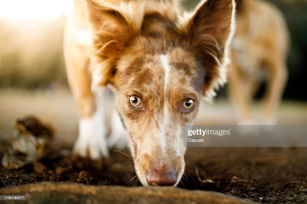 Dog smelling the ground and looking at camera : Stock Photo
