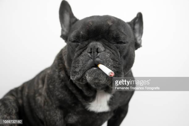 dog smoking - pet -studio stock photos and pictures