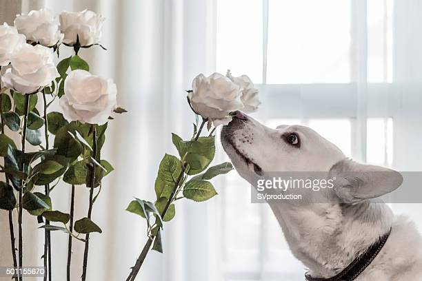 White dog smelling white flowers in a private house