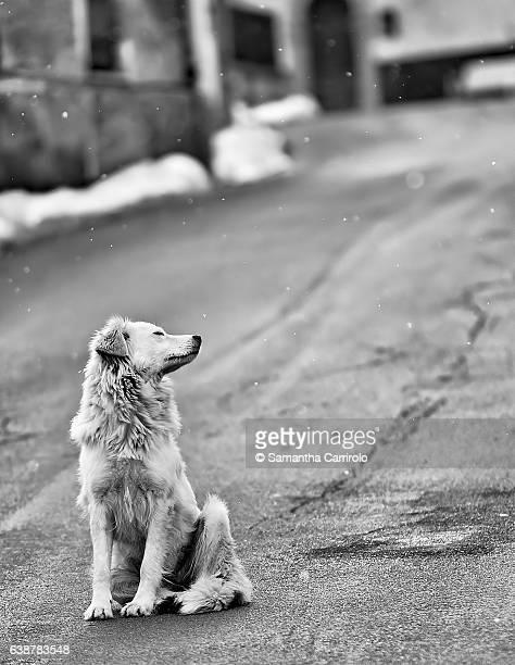 dog sniffing the air. snow. monochrome. black and white. - pastore maremmano foto e immagini stock