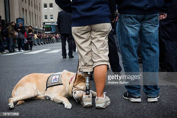 A dog snuggles up to a woman with a prosthetic leg while waiting to march in the Veteran's Day Parade on November 11 2013 in New York City The parade...