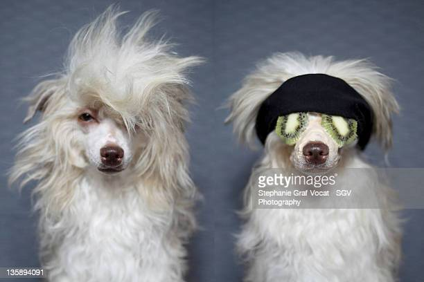 dog spa - chinese crested dog stock photos and pictures