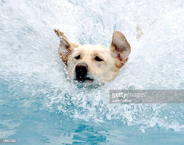 A dog splashes after diving into a pool to retrieve a ball during a diving competition at the Purina Dog Chow Incredible Dog Challenge August 24 2002...