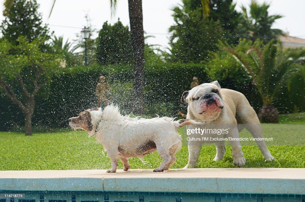 Dog splashing a bulldog by the pool : Stock Photo