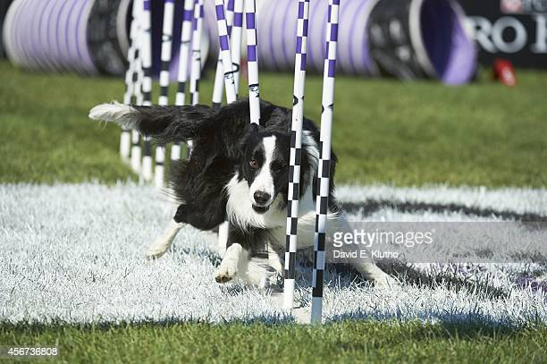 Purina Incredible Dog Challenge View of Force a Border Collie in action during 30Weave UpandBack competition at Purina Farms Gray Summit MO CREDIT...