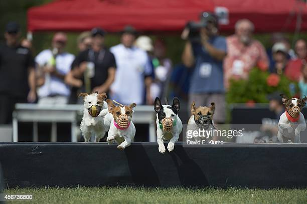 Purina Incredible Dog Challenge View of Scout in action during Jack Russell Hurdle Race at Purina Farms Gray Summit MO CREDIT David E Klutho