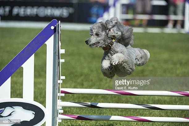 Purina Incredible Dog Challenge View of Switch a miniature poodle in action during Small Dog Agility competition at Purina Farms Gray Summit MO...