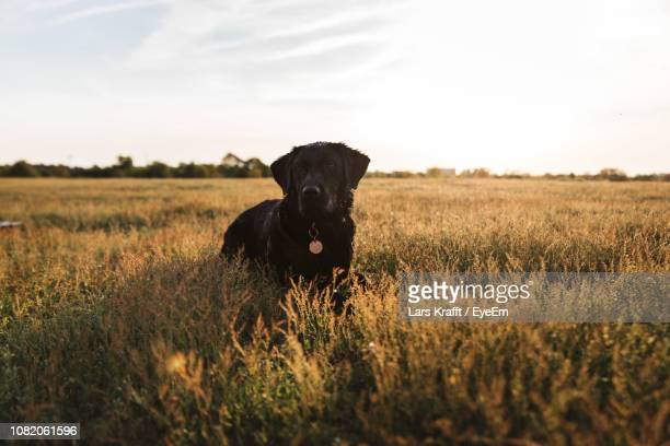 dog standing amidst plants on field against sky during sunset - labrador preto imagens e fotografias de stock
