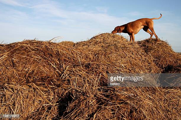 Dog Standing and Sniffing Large Pile of Hay