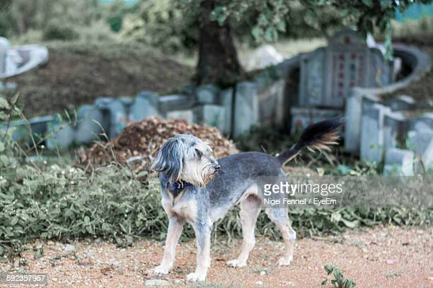 Dog Standing At Graveyard