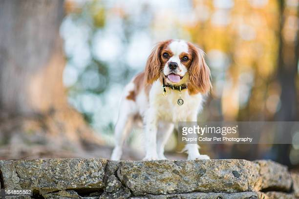 dog standing atop wall - cavalier king charles spaniel stock pictures, royalty-free photos & images