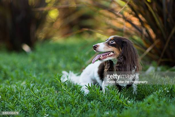 dog standing in green plants with mouth open - long haired dachshund stock photos and pictures