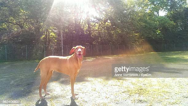 Dog Standing In Park