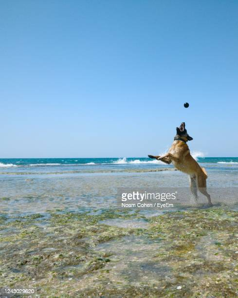 dog standing in sea against clear sky - noam cohen stock pictures, royalty-free photos & images