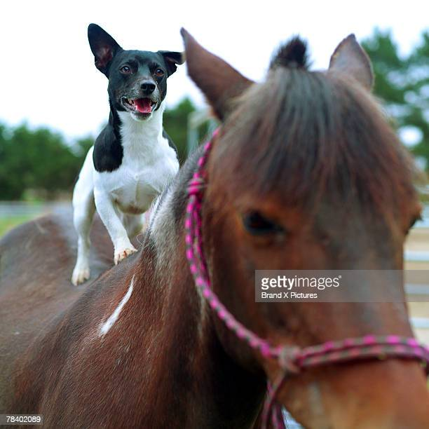 Dog standing on a horse
