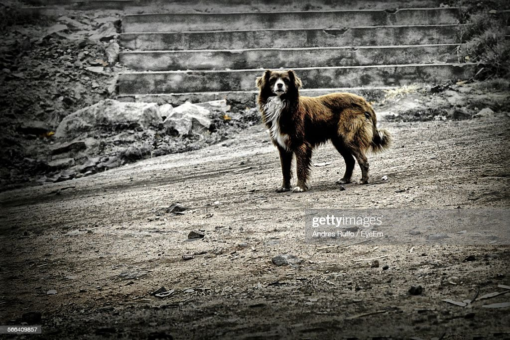 Dog Standing On Field : Stock-Foto