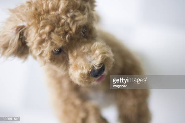 dog standing on floor - miniature poodle stock photos and pictures