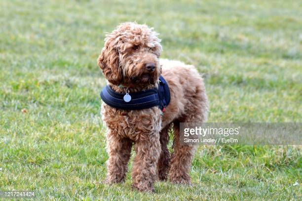 dog standing on grass - cockapoo stock pictures, royalty-free photos & images