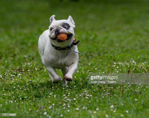 dog standing on grass - approaching stock pictures, royalty-free photos & images